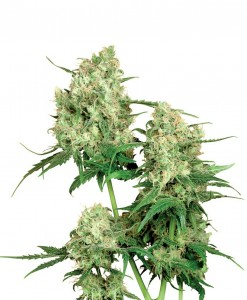 Semillas cannabis Sensi Seeds Web